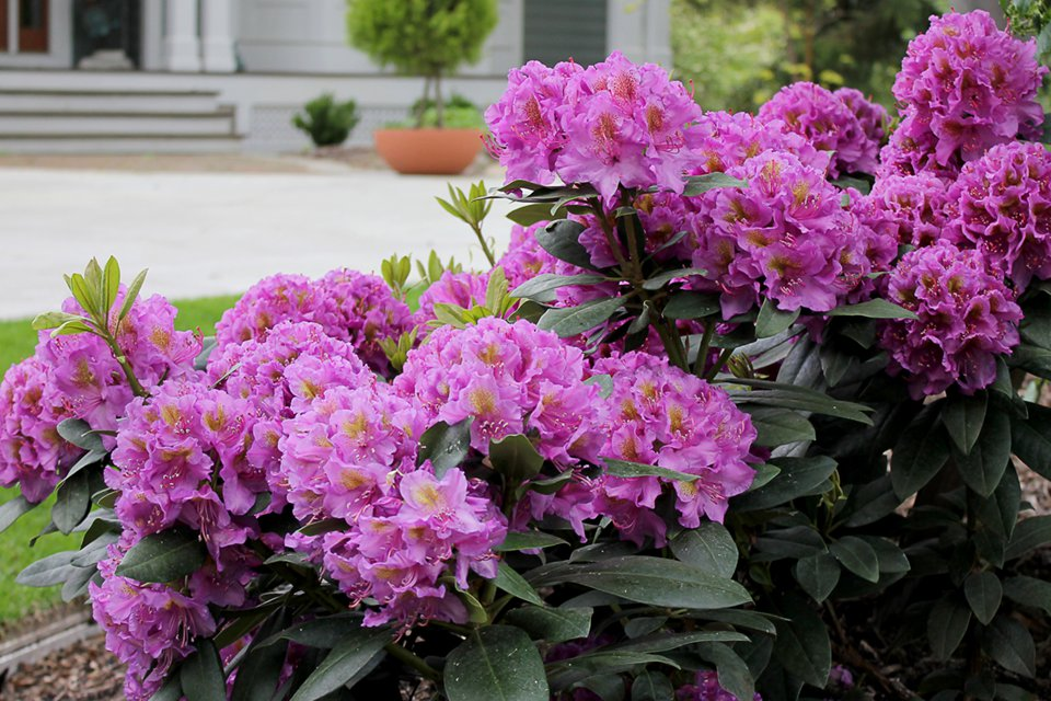 Rhododendron 'Dandy Man' (Proven Winners ColorChoice Shrubs)