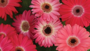 Gerbera Revolution Series (Kieft Seed)