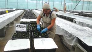 Offshore farm profiles Dummen Orange Las Mercedes Solanaceas GH