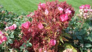 Rose-Rosette-Knockout-May-2013-A-Windham_featured