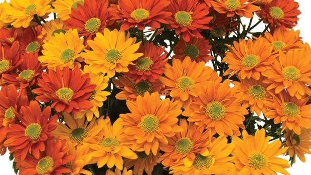 Pot Mum Combos (Syngenta Flowers)