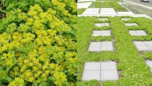Drought-Wise All Terrain Ground Covers_sedum_Russian Stonecrop