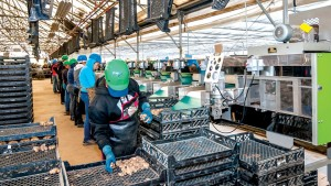 Trays move on an overhead conveyor to the end of the production line, where workers carefully pack the cleaned, sized, graded, counted and sorted Calla tubers