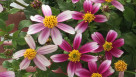 Bidens 'Cupcake Strawberry' (Plant Haven International)