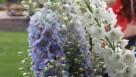 Delphinium 'Guardian Lavender' (Kieft Seed)