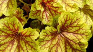 Heuchera 'Red Lightning' (Terra Nova Nurseries)