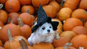 Pooch & Pumpkin dog
