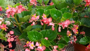 Begonia 'BabyWing Red' (2015 Louisiana State University Field Trials)