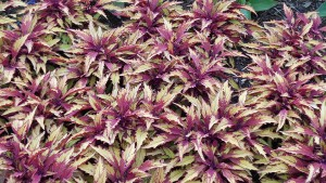 Coleus scutellaroides 'Flame Thrower Spiced Curry' (2015 Cornell University Field Trials)