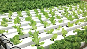Increased customer demand led Good Harvest Farms to add hydroponic lettuce in 2000
