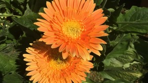 Gerbera 'Funtastic Mango' (2015 Dallas Arboretum Field Trials)