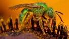 Iridescent green sweat bee