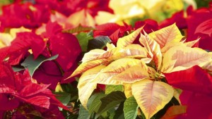 New Hampshire Poinsettia Trial 1