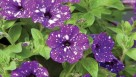 Petunia 'Night Sky' (2015 D.S. Cole Growers Field Trials)