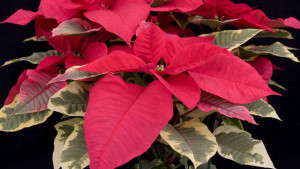 Phytophthora On Poinsettia