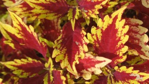 Coleus/Solenostemon 'Colorblaze Apple Brandy' (2015 Missouri Botanical Garden Field Trials)