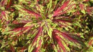 Coleus 'Flamethrower Chili Pepper' (2015 Missouri Botanical Garden Field Trials)