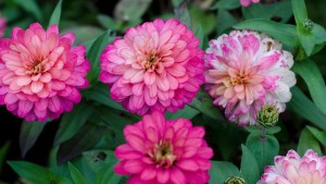 Zinnia 'Double Zahara Salmon Rose' (2015 Massachusetts Horticultural Society Field Trials)