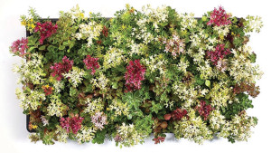 Northwest Horticulture offers four different mixes of sedum tiles for green roof projects. Photo courtesy North West Horticulture Feature