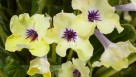 Streptocarpus 'Yellow Blue Eye' (Green Fuse Botanicals)