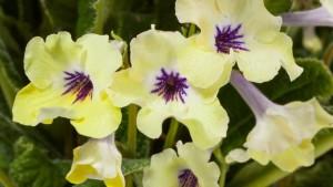 Streptocarpus 'Yellow Blue Eye' (Green Fuse Botanicals)