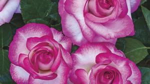 Weeks Roses Miss Congeniality