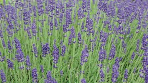 English lavender in field