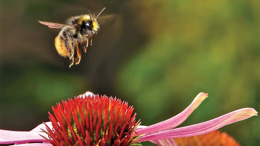Armitage bee Bee Armitage