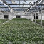 Greenhouse Cannabis Lighting From Fluence