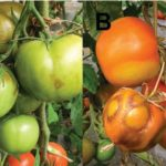 ToBRFV tomato virus symptoms