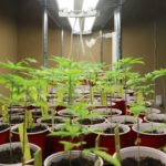 ooted cannabis clones await propagation