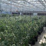 Cannabis harvest time at ForwardGro