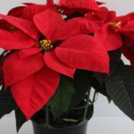 Mirage Red poinsettia from Syngenta Flowers