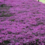 Garden bed of phlox free of weeds