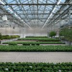 White LED lamps over greenhouse grown basil