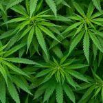 LumiGrow-Cannabis