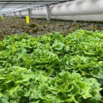 Lettuce crop at Hardee Fresh