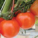 CropKing Q and A Tomato