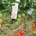 Tricholine dispenser Anderline sachet in the greenhouse