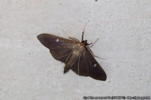 Box Tree Moth Adult (Dark form)
