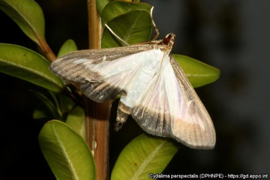 Box Tree Moth Adult