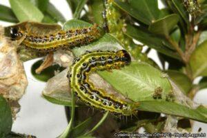 Box Tree Moth Caterpillars