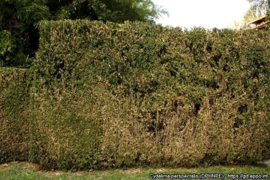Box Tree Moth Damage